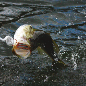 Bed Fishing for Bass