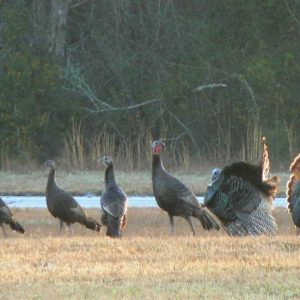 Hunting Spring Turkeys Without a Quota Permit