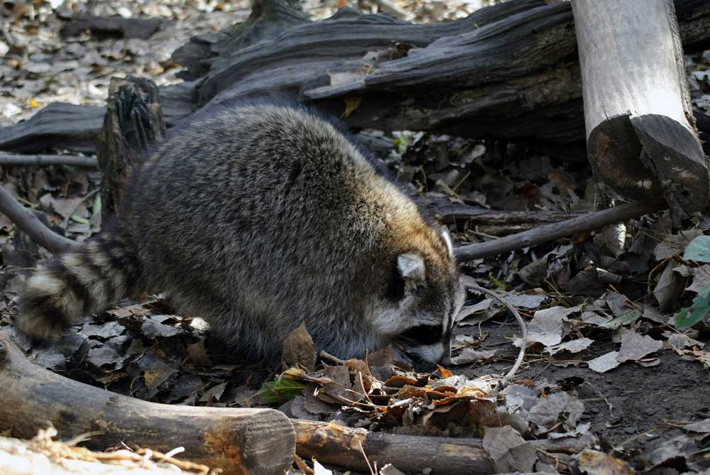 Trimming predator populations includes raccoons and other varmints.