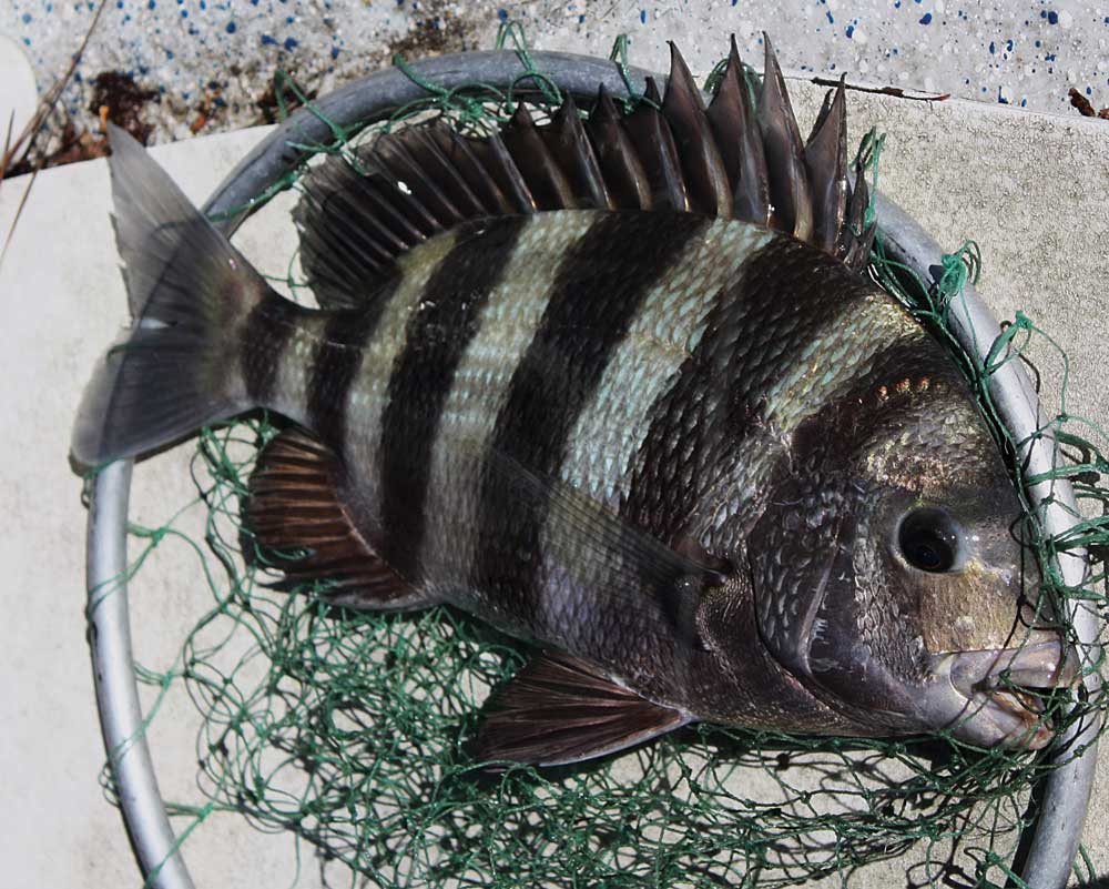 Sheepshead fishing striped and lots of fun great days for Sheepshead fish eating