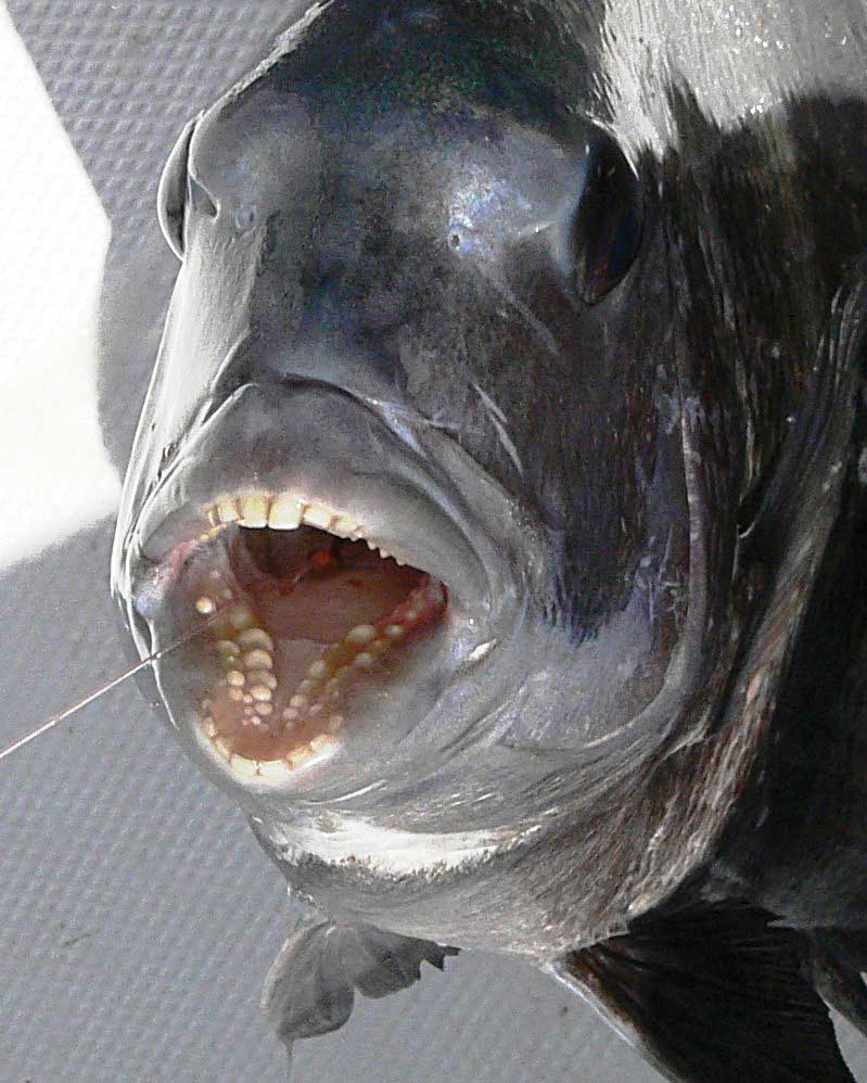 Sheepshead fish have teeth the best fish 2018 for Freshwater fish with teeth