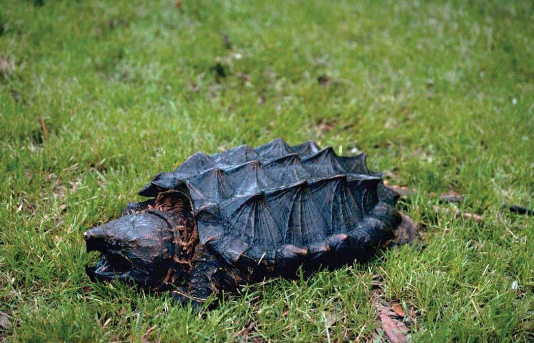 The Alligator Snapping Turtle