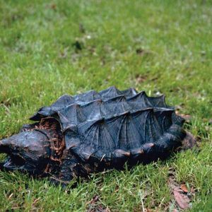 Alabama's Alligator Snapping Turtle