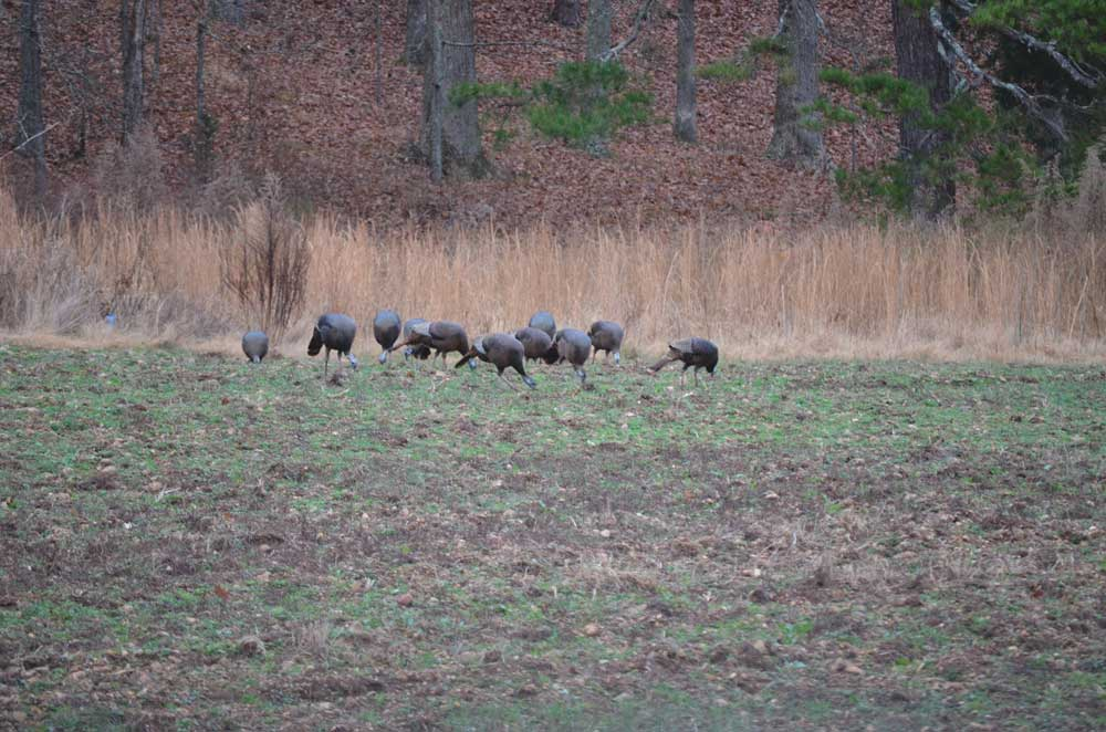 Tips for turkey food plots.