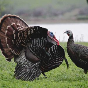 Turkey Season: Early Spring vs Late Spring