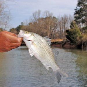 Tips and Tricks for White Bass Fishing