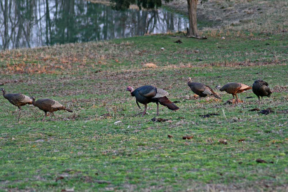 spring turkey hunting tips and basics for beginners