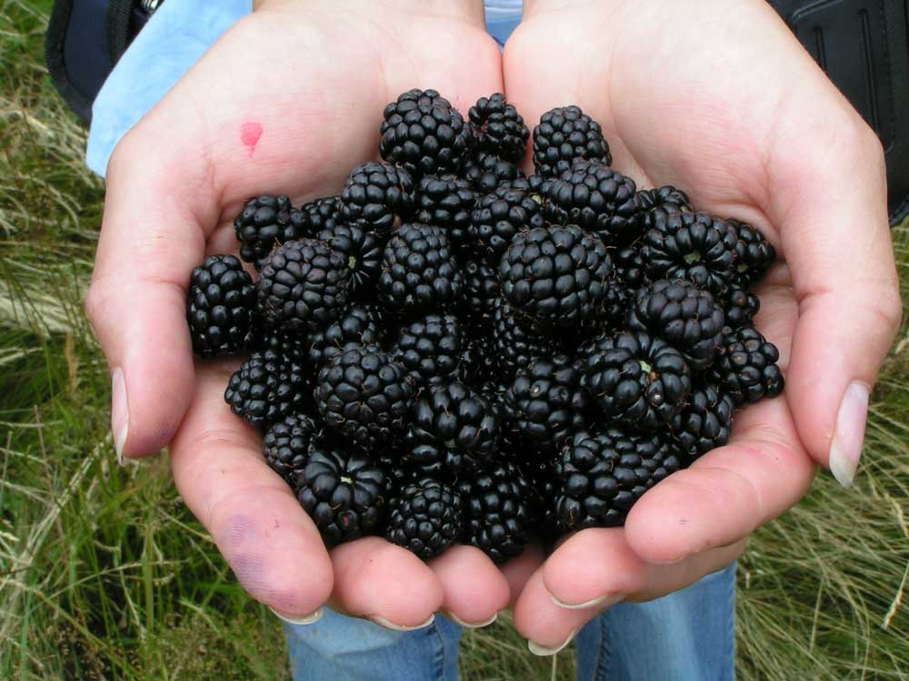 How to plant blackberries for the surrounding wildlife.