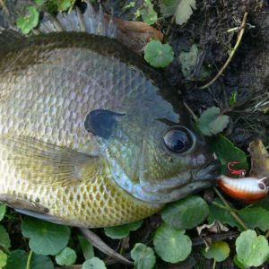 The Best Bream Lures and Equipment For Success