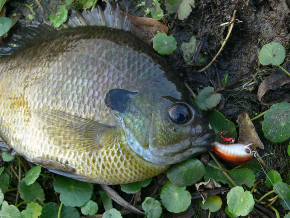 A successful catch while bream fishing.