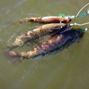 Unusual Lures: Rigging for More Bass