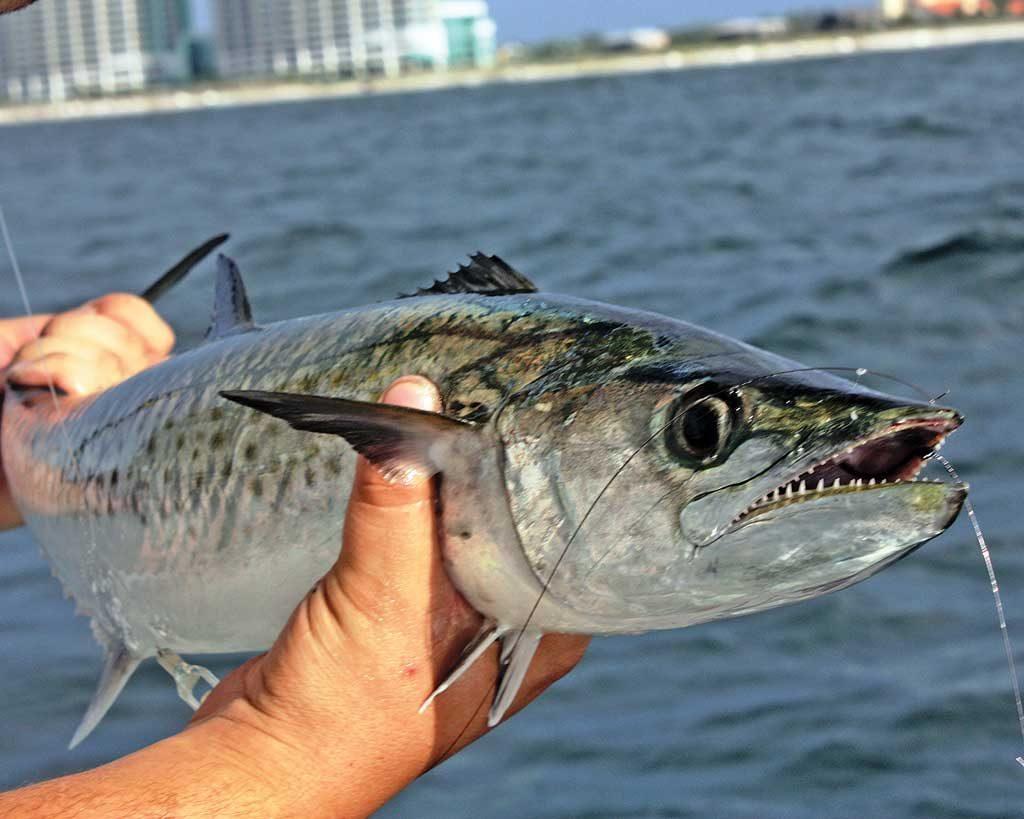how to catch spanish mackerel in the gulf