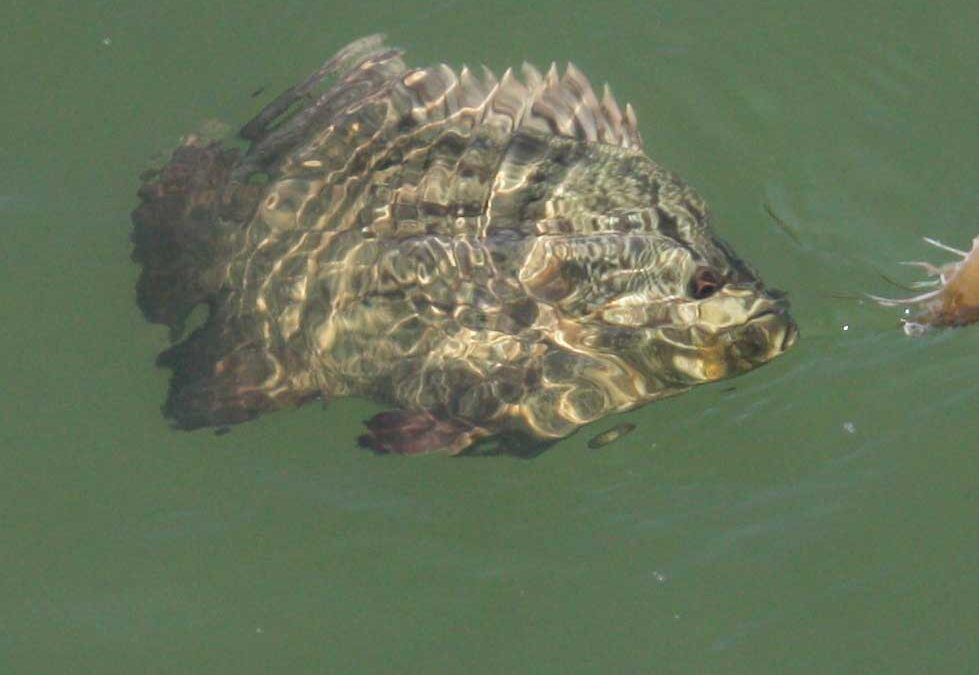 Tripletail: When, Where, and How