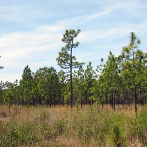 What To Do About Those Alabama Pine Trees