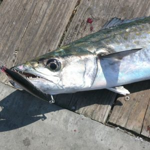 Mackerel of Both Kinds on the Alabama Coast