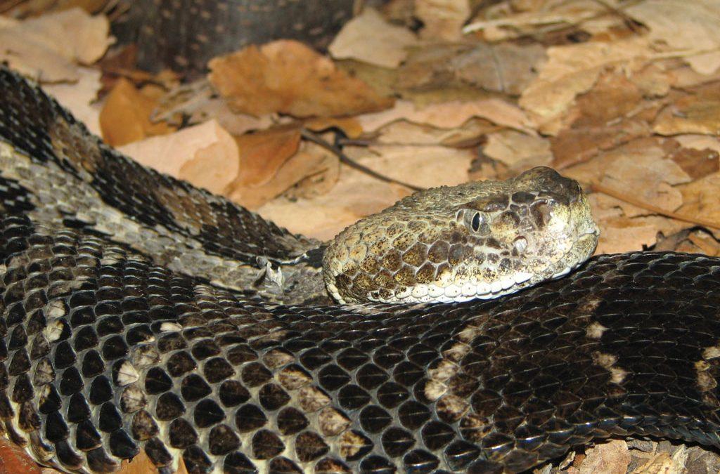 How to Avoid/Treat Venomous Snake Bites