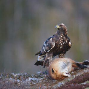 Alabama's Golden Eagle