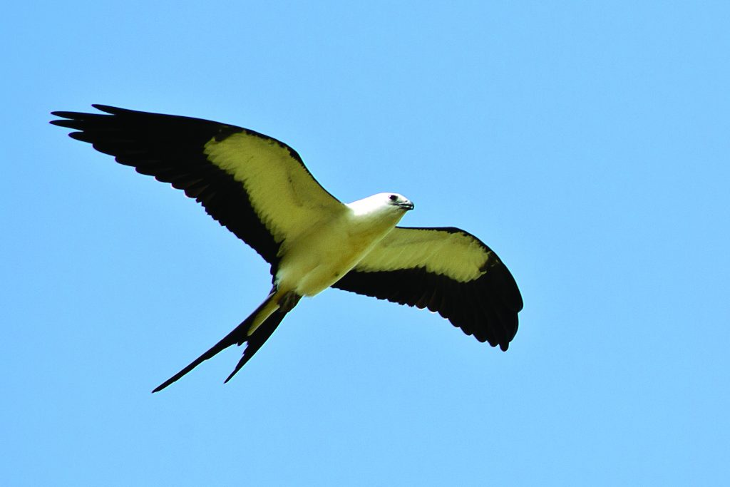 Watts recommends visiting the Black Belt Birding Trail for the unique opportunities of seeing wood storks at the catfish ponds and swallow-tailed kites soaring overhead.