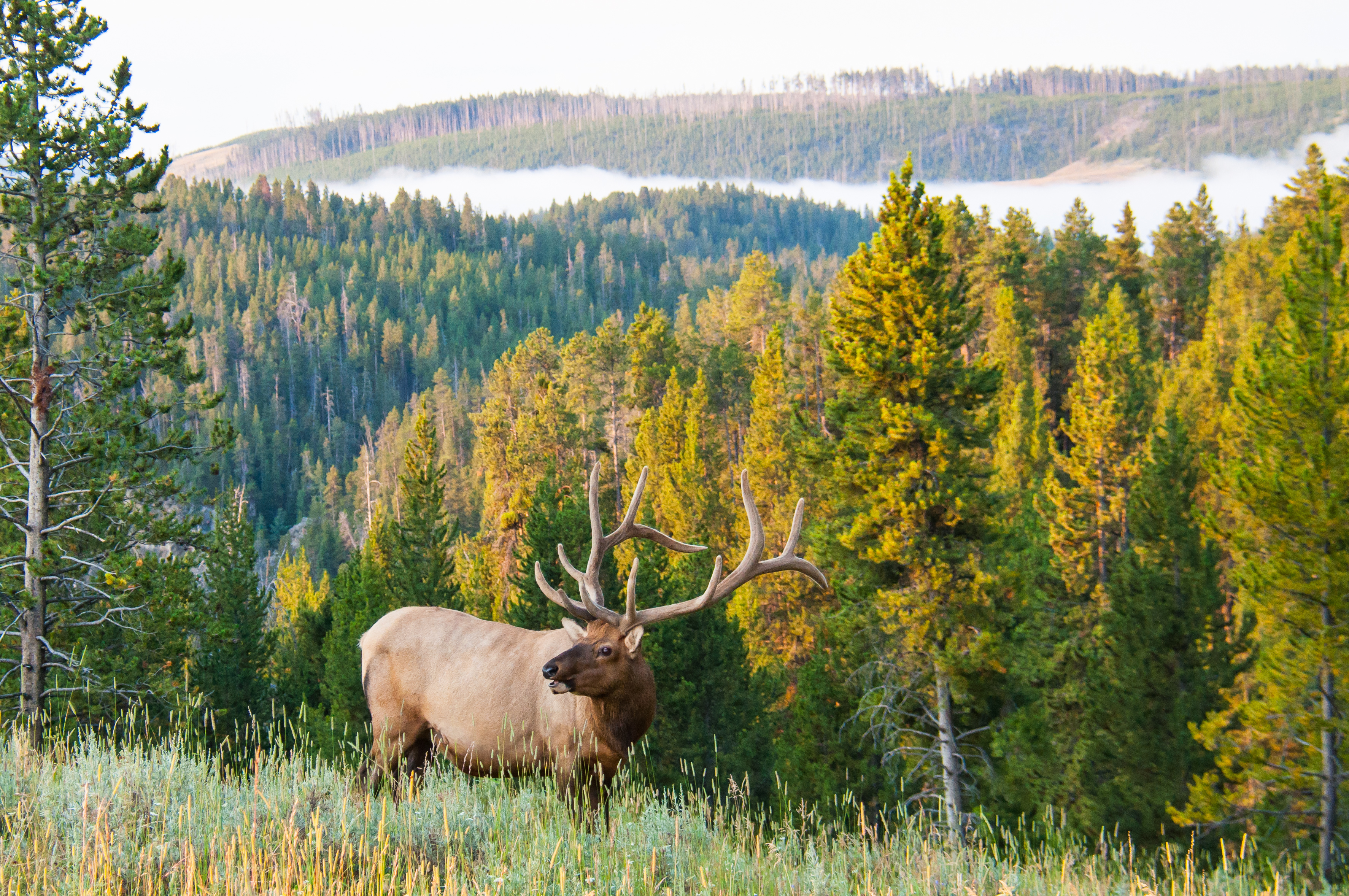 For archery elk hunters, elk will bed wherever they feel most secure.