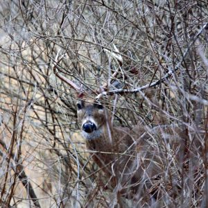 Tips On Tracking A Shot Deer