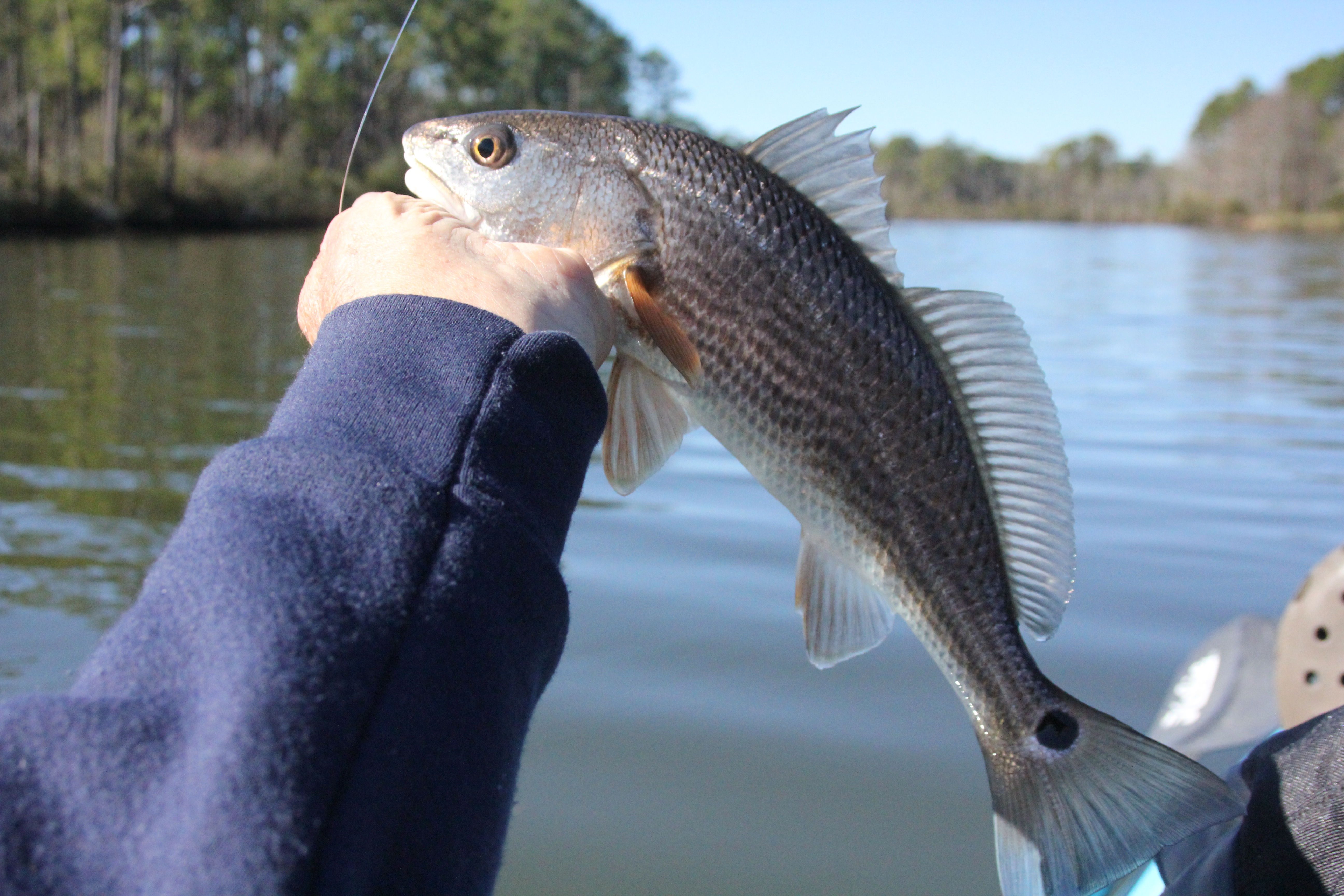 Fishing for redfish in the fall will provide a lower slot size redfish.