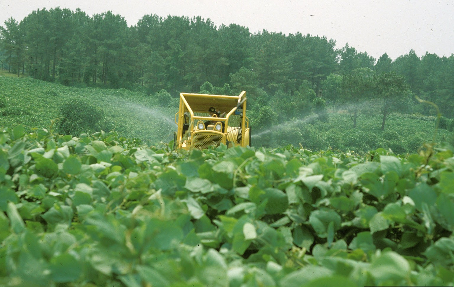 There are different ways to control invasive weeds, like kudzu, but cultivation has shown to be an effective strategy.