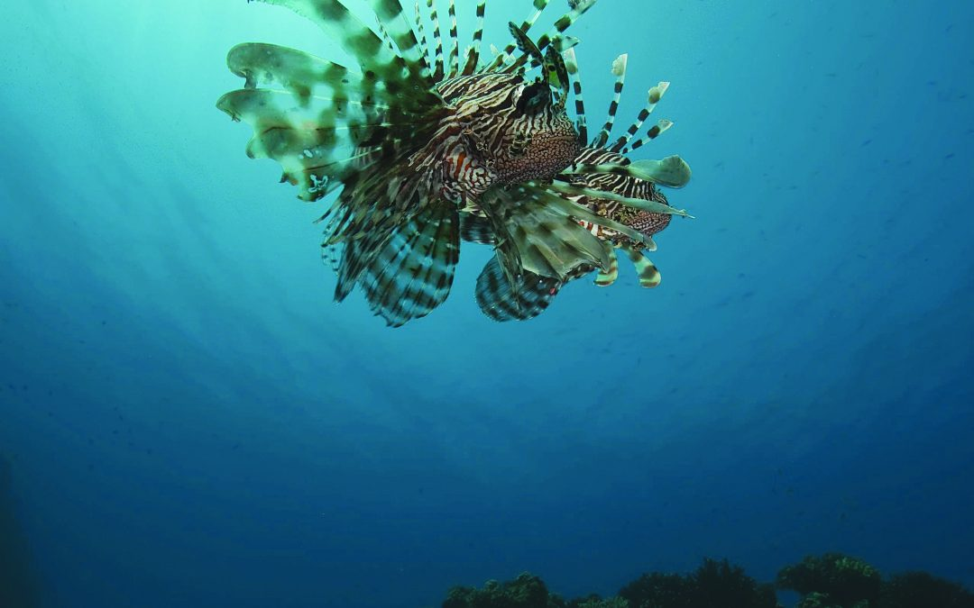 Gulf Coast Invasion of Lionfish