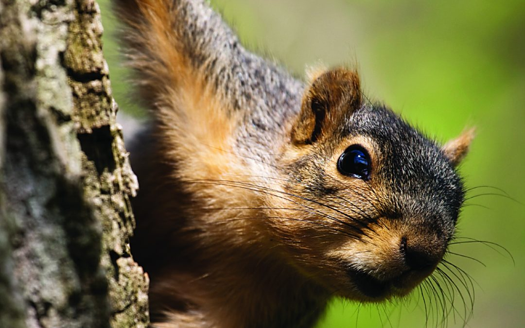 Alabama's Fox Squirrels