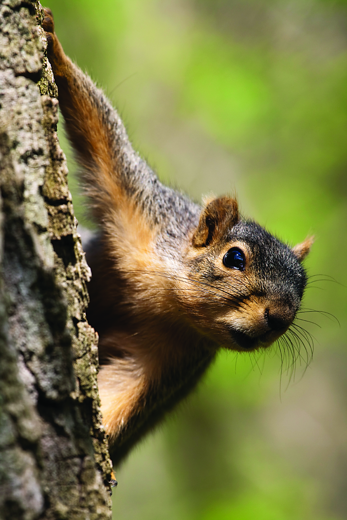 Some hunters say Alabama's fox squirrels can be the hardest squirrels to hunt.