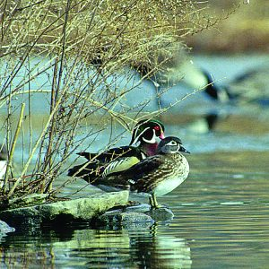Mobile Delta Wood Duck Workout