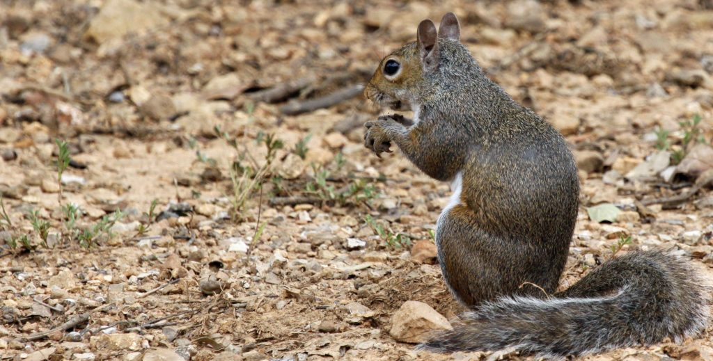 When squirrel scouting, it may be helpful to search the ground for feeding squirrels.