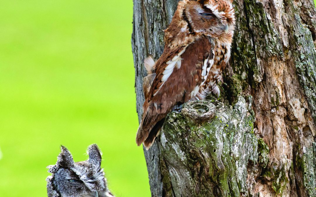Alabama's Eastern Screech Owl