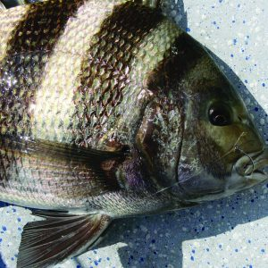 January Sheepshead Fishing