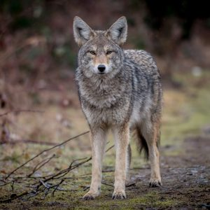 Coyote Control and Management