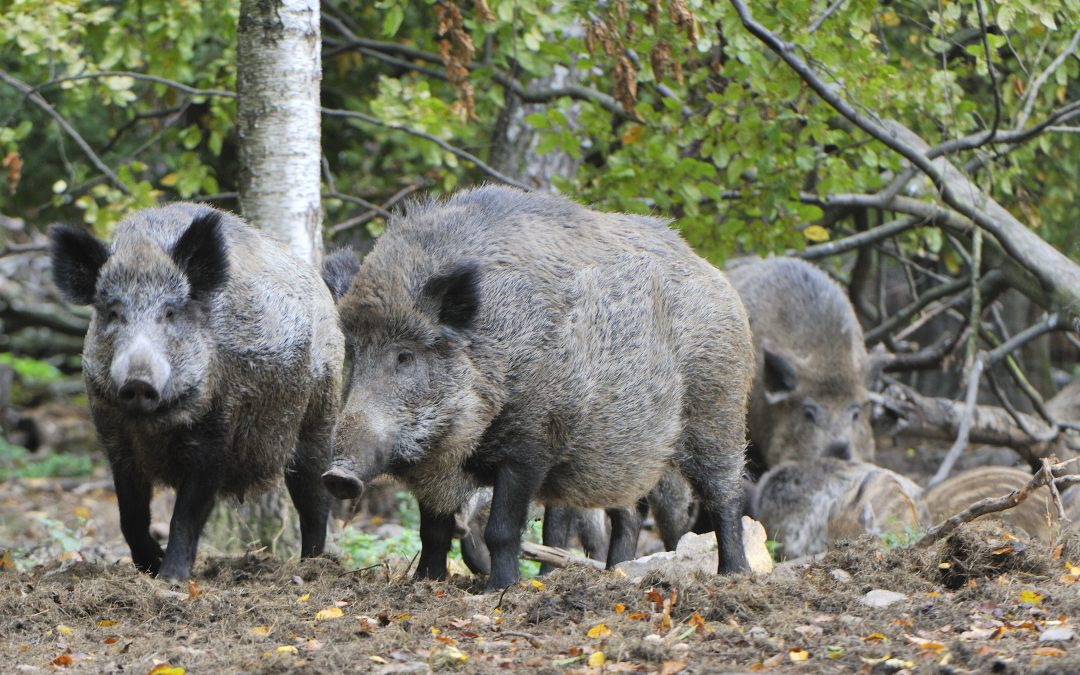 Get Ready for Hog Hunting in Florida!
