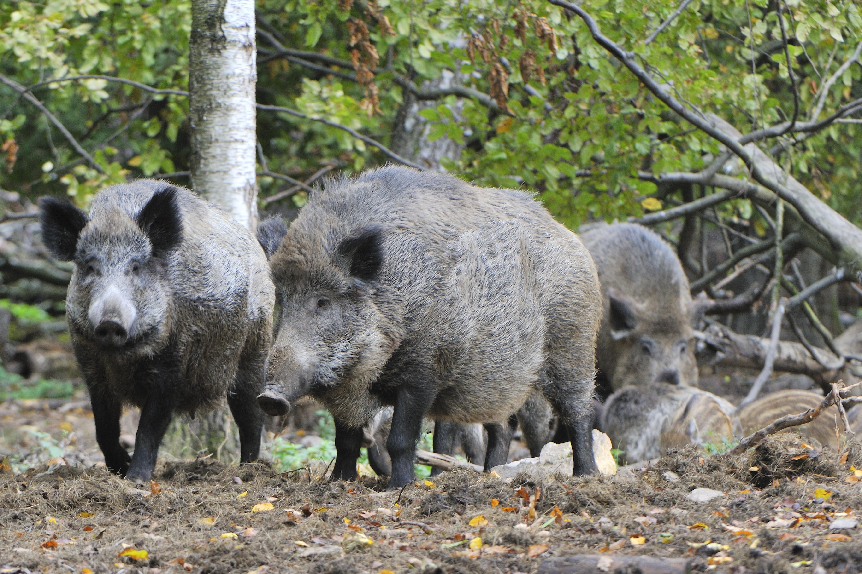 Hog hunting in Florida.