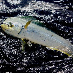 Migrant Pelagic Fish Back on the Coast