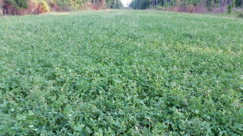 Clover is an excellent deer food Plot Seed
