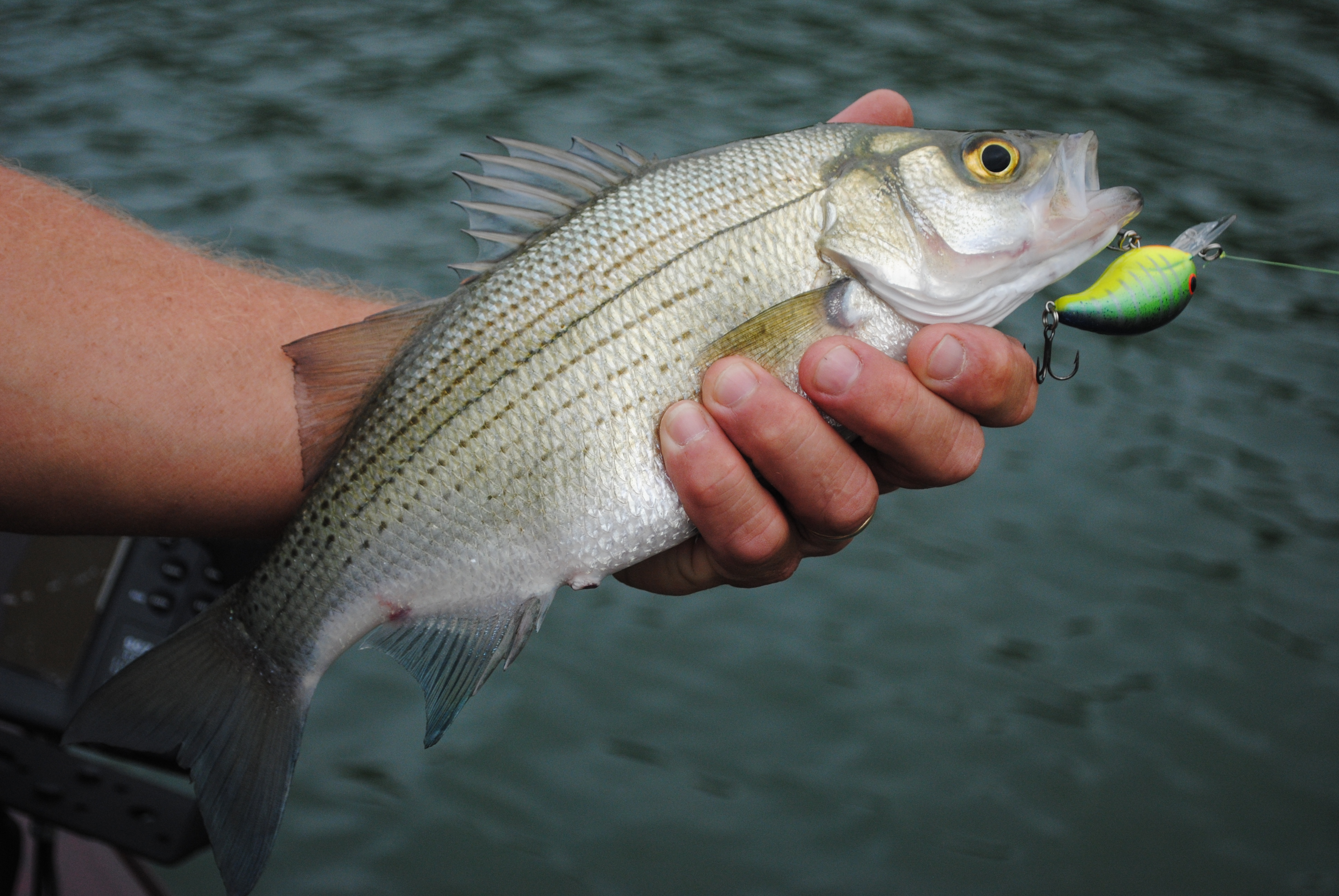 While bass remain the major draw for Wheeler Lake fishing, the lake features excellent fishing that can be as good or even better for white bass, catfish, crappie, and bream.