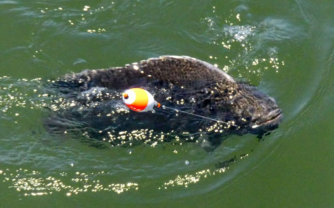Fall Tripletail Fishing Tips
