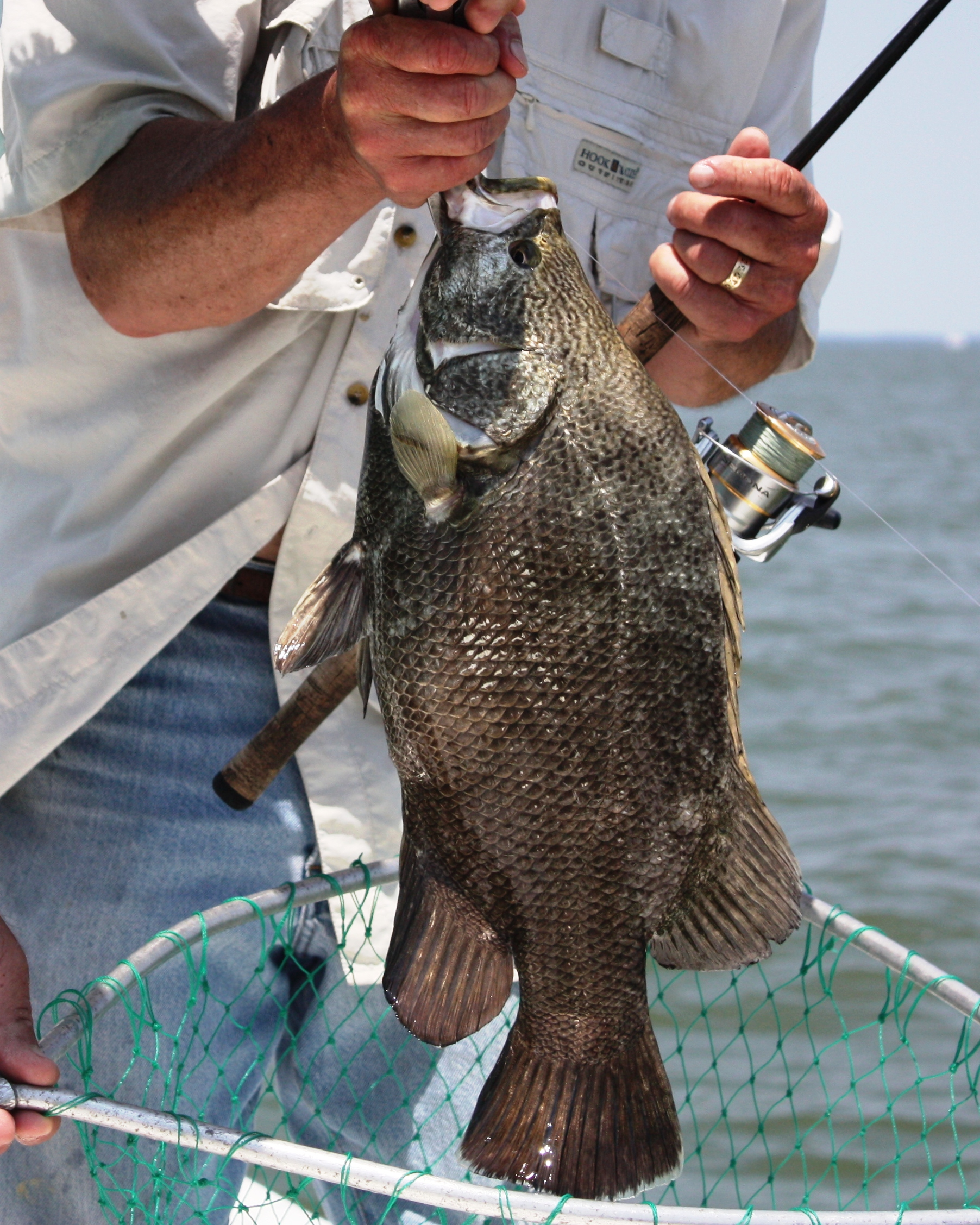 When fall tripletail fishing, I have my standard tripletail rig ready.  I use a medium action spinning or casting rig with 20 lb. line and a popping cork fixed a couple of feet above a hook with a live shrimp.