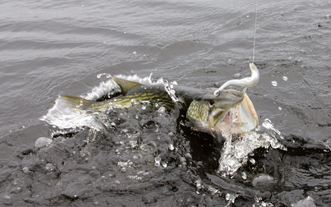 Chain Pickerel Fishing in the Deep South