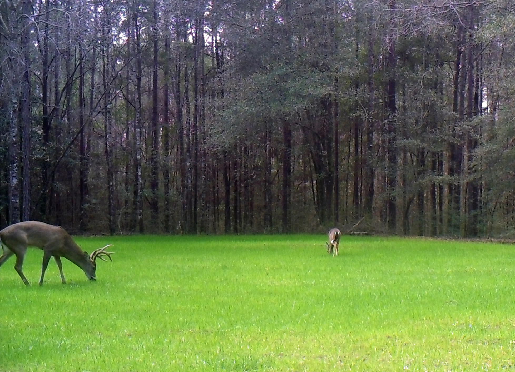 Liquid Fertilizer vs. Granular Fertilizer is a major decision in maintaining your food plot.