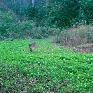 Spring Food Plots for Deer and Turkey