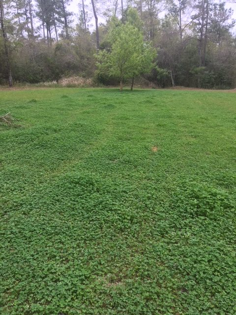 Try using liquid fertilizer on your clover food plots as you prepare your spring food plots