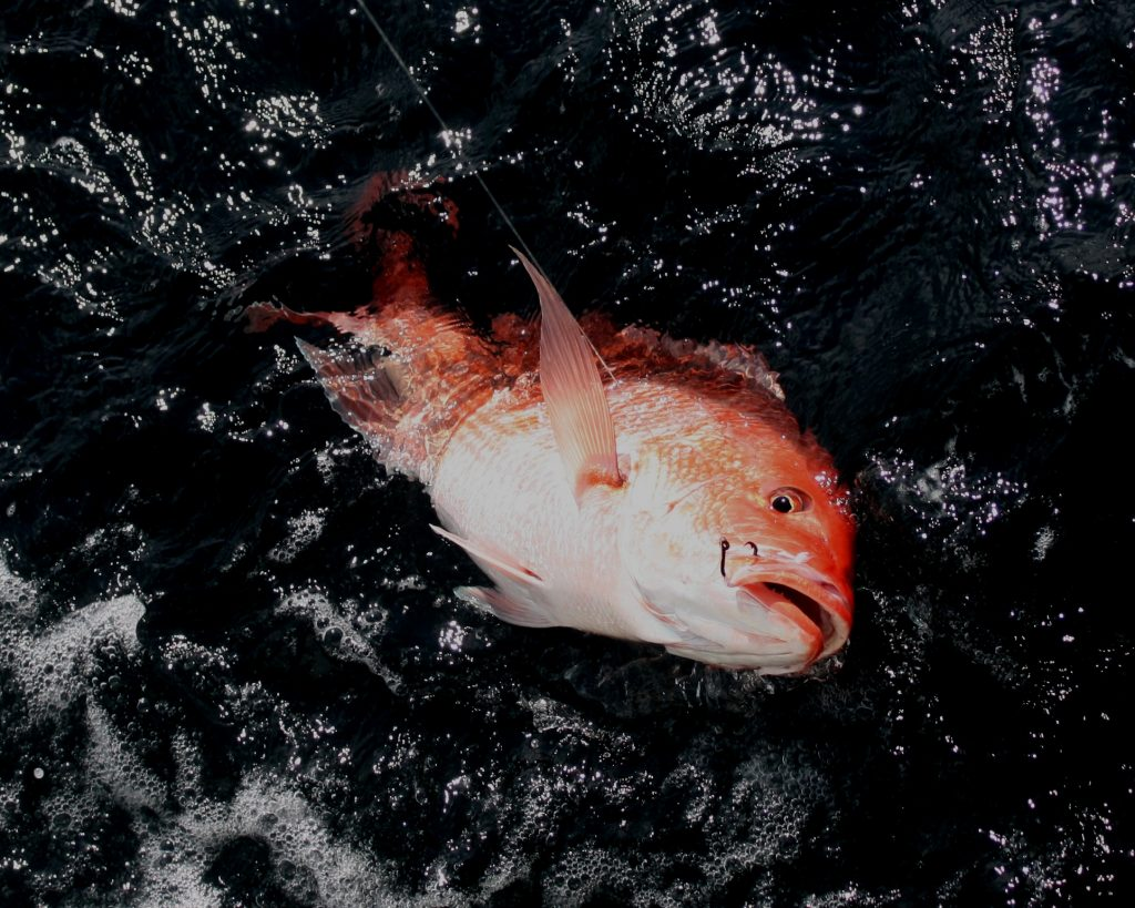 Orange Beach offers world class red snapper fishing