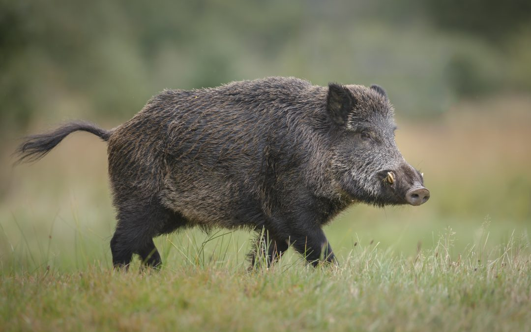 Feral Pig Hunting – Tools and Tactics of the Trade