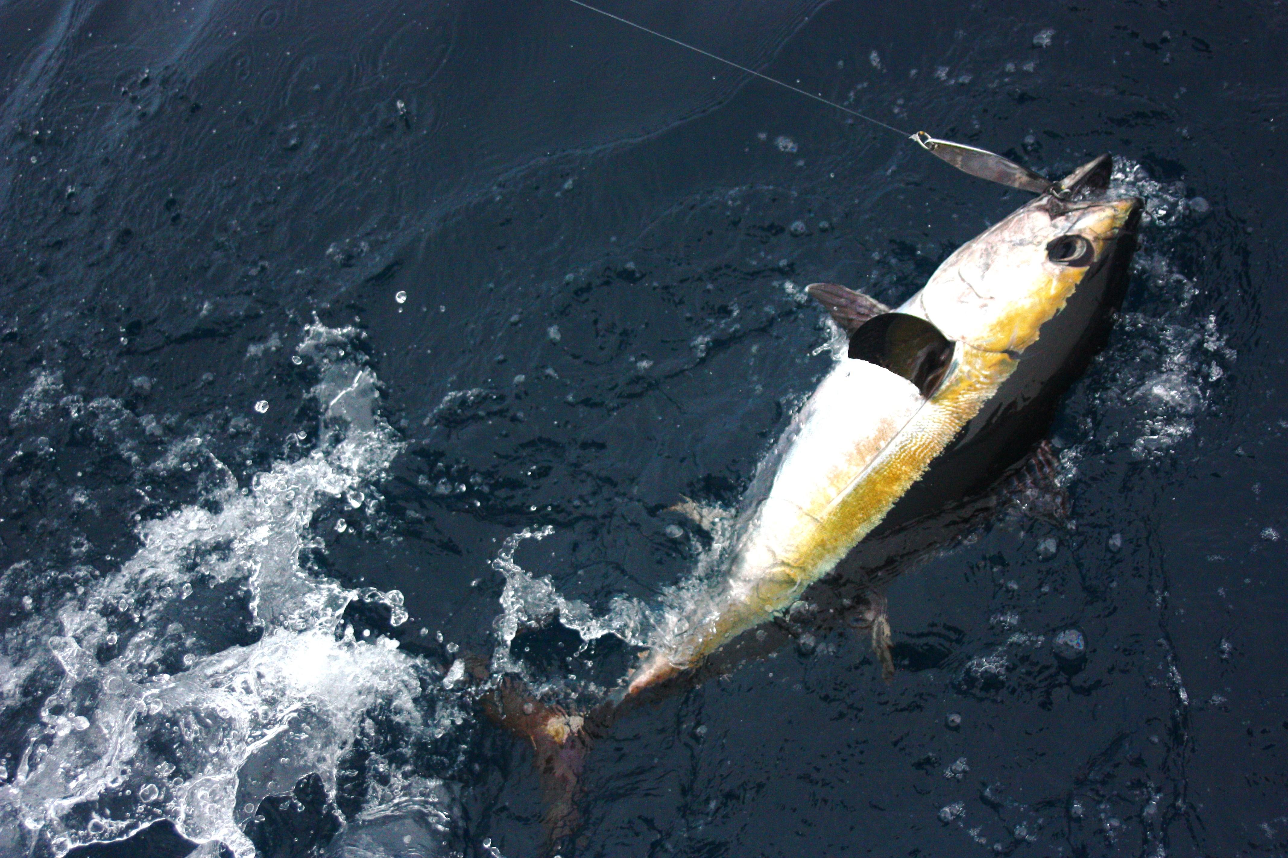 blackfinn tuna