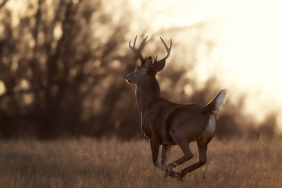 affordable whitetail hunting trips can put you in front of a buck like this at a fraction of the cost.