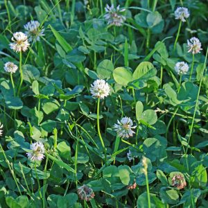 Clover Food Plot Seed: What's Hot and What Works